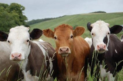 Beef cattle farming management